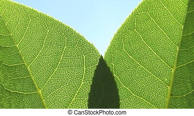 Green leaves in the sunshine - Macro shot of green tree...