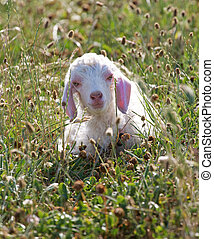 angora kid - An Angora goat kid, only a few days old, lying...