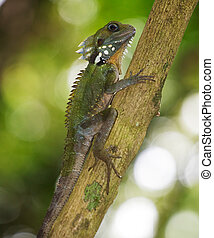 This dragon is endemic to the hinterlands of Cairns