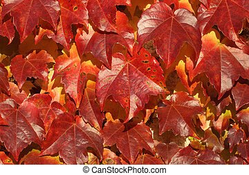 Parthenocissus tricuspidata - Details of a wall covered by...