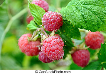 close-up of ripe raspberry in the garden