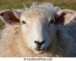 Face of  a Young Romney Ewe