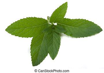 Mint Herb - Mint herb