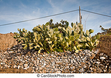 prickly pear at spring