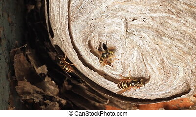 Wasp in Nest - Wasps building a nest