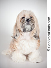 Portrait of lhasa apso dog - Portrait of a seated lhasa apso...