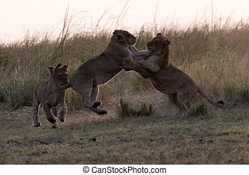 Lion cubs play-fighting in Chobe Game Reserve