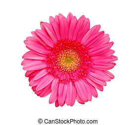 Pink gerber - Flower of pink gerber isolated on white