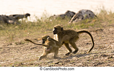Play-fight - Two young baboons fighting in Chobe Game...