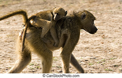 Hitching a ride - Baby baboon on mothers back in Chobe Game...