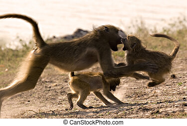 Ending a fight - Mother baboon ending a playfight