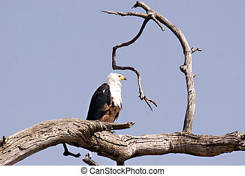 African Fish Eagle in Chobe Game Reserve Botswana