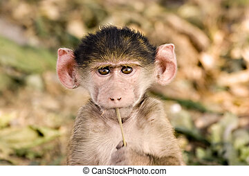 Baby Baboon - Baby baboon pretending to play a flute