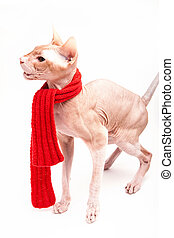 cat sphinx warm with red scarf - pet cat sphinx warm with...