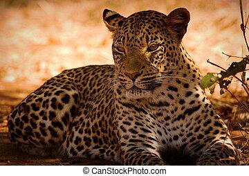 Leopard - leopard in lower zambezi national park in Zambia