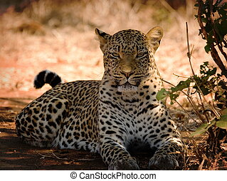 Leopard in lower zambezi national park in zambia