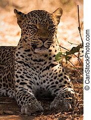 Leopard - leopard in lower zambezi national park in zambia