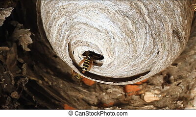 Wasp in Nest. - Wasps building a nest.
