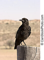 Crow in Kgalagadi Transfrontier Park in South Africa