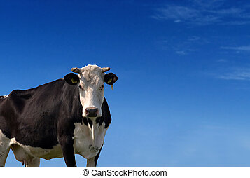 Cow - cow against a blue sky