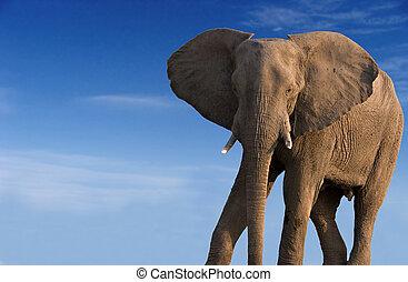african elephant - African elephant against a blue sky