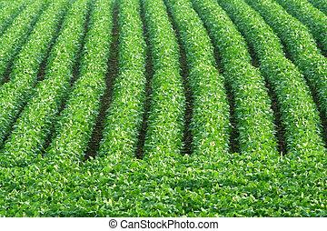 rows of green soybeans in field near Schuyler, Nebraska