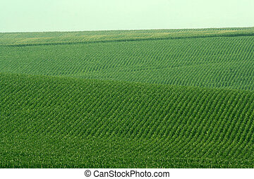 green soybeans on hills - rolling hills covered with green...