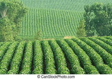 soybeans on hills - rows of green soybeans on hillside;...