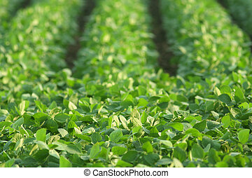 green soybeans in sun - rows of green soybeans growing in...