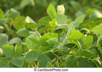 green soybeans closeup - closeup of green soybeans in...