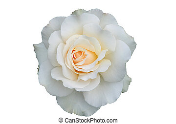 Single white rose, isolated, Mount Hood