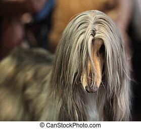 afghan hound - An afghan hound dog standing
