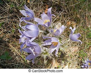 Cutleaf anemone (Pulsatilla patens) - Eastern pasqueflower,...