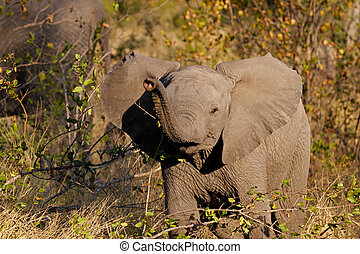 Baby African elephant - Curious baby African elephant...