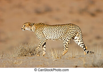 Stalking Cheetah - Stalking cheetah Acinonyx jubatus,...