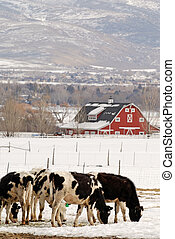 Dairy Cows in the Snow