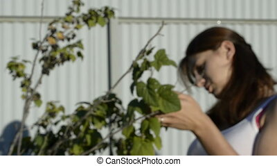 Young woman collects blackcurrant