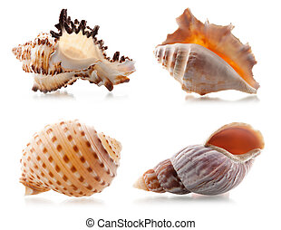 Four sea shells. Isolated on white background