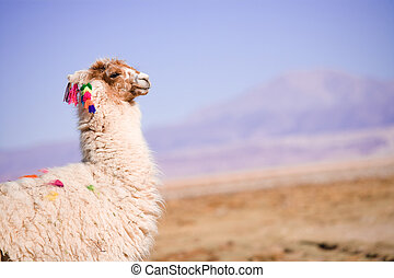 Alpacas in the ?Salar de Atacama? (Atacama Salt lake),...