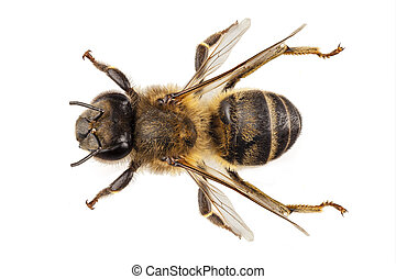 Bee species apis mellifera common name Western honey bee or...