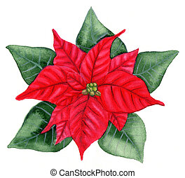 Christmas Flower - Aquarelle - Christmas flower
