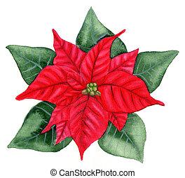 Christmas Flower - Aquarelle - Christmas flower