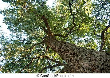 Cork oak tree, Quercos Suber - Old cork oak tree growing