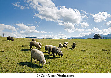 Sheep in mountain - Sheep herd on mountain plateau pasture...