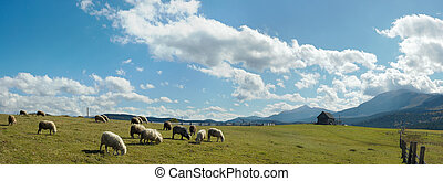 Sheep herd on plateau - Sheep herd on mountain plateau...