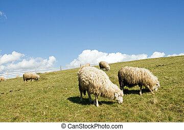 sheep, montanha