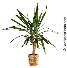House palm yucca - Home plant Yucca elephantides isolated on...