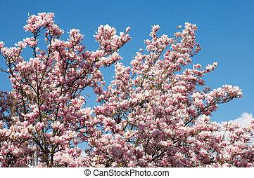 magnolia-tree - Blossoming magnolia-tree on blue sky...