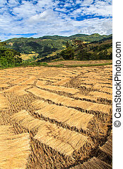 Harvested rice field