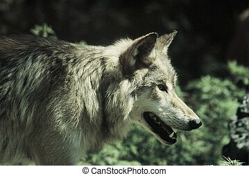 Minnesota Timber Wolf - Summer portrait of a male timber...